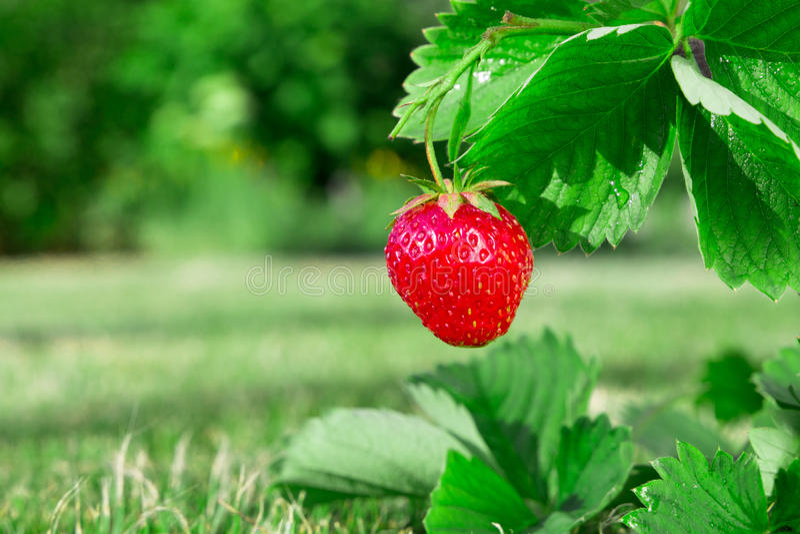 Fresh ripe red strawberry. Bush grow in the garden. stock photo