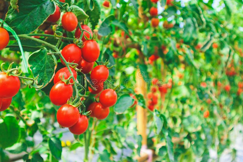 Fresh ripe red tomatoes plant growth in greenhouse garden ready to harvest stock photo