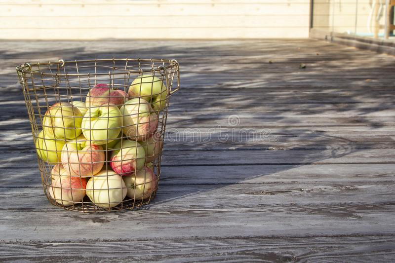 Fresh ripe red yellow apples in metal basket on wooden terrace on sunny day. Harvest fall time apples stock photography