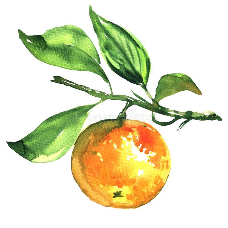 Fresh ripe tangerine, mandarin, on a branch isolated, watercolor illustration vector illustration