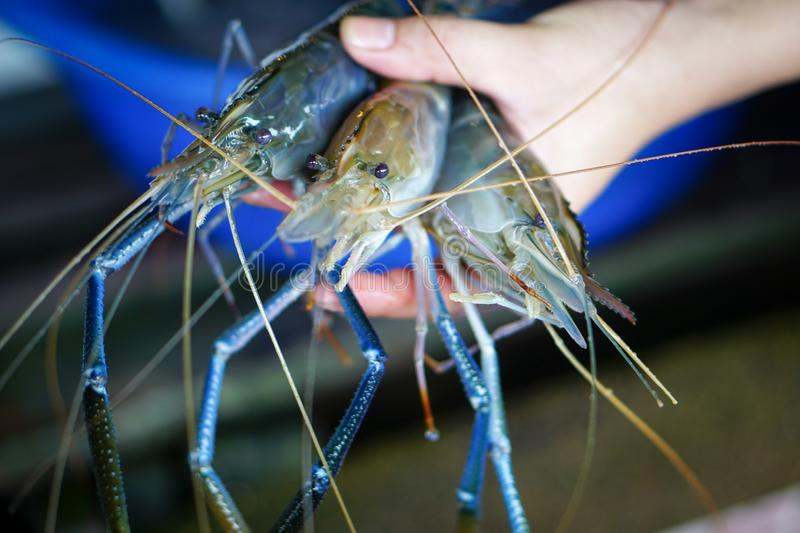 Fresh river prawns in hand royalty free stock photos