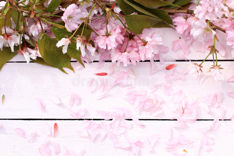 Fresh, romantic, rustic spring background with cherry flowers petals royalty free stock photo