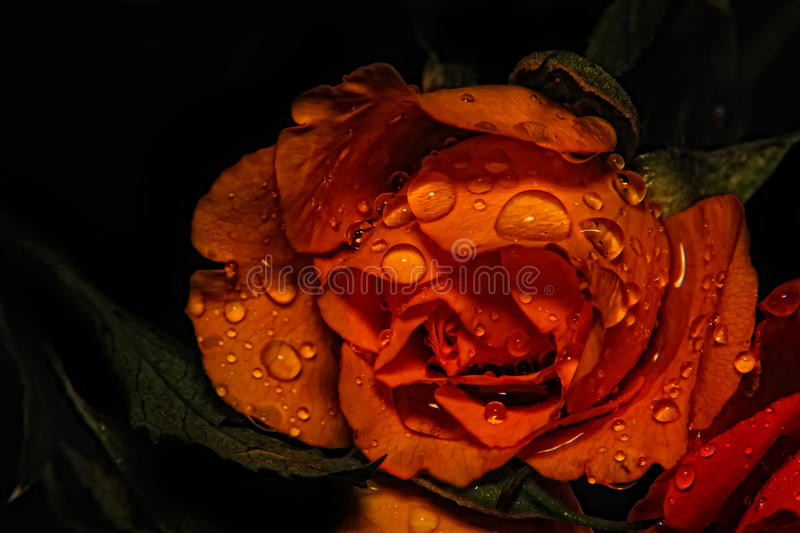 Fresh Rose royalty free stock images