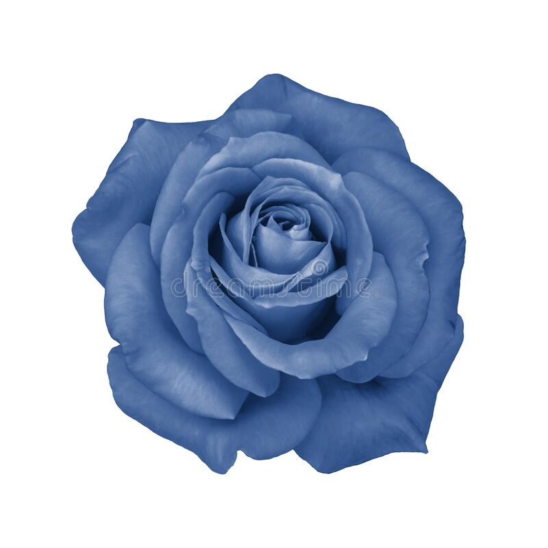 Fresh rose flower isolated on white. Isolate blossom rose tinted in trendy classic blue color. Beautiful natural rose flower stock images