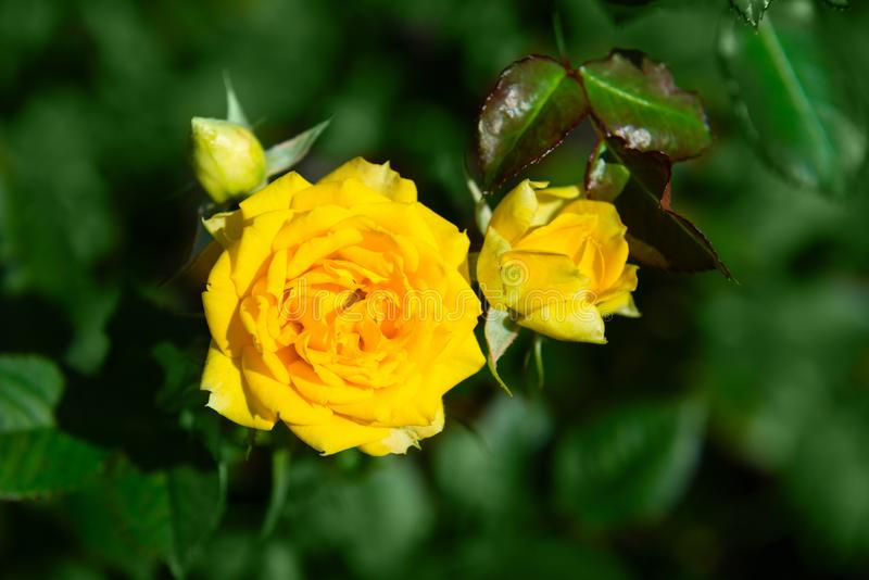 Fresh rose plant with yellow flowers in green garden. Fresh rose plant with two bright yellow flowers and closed bud in green garden background stock photos
