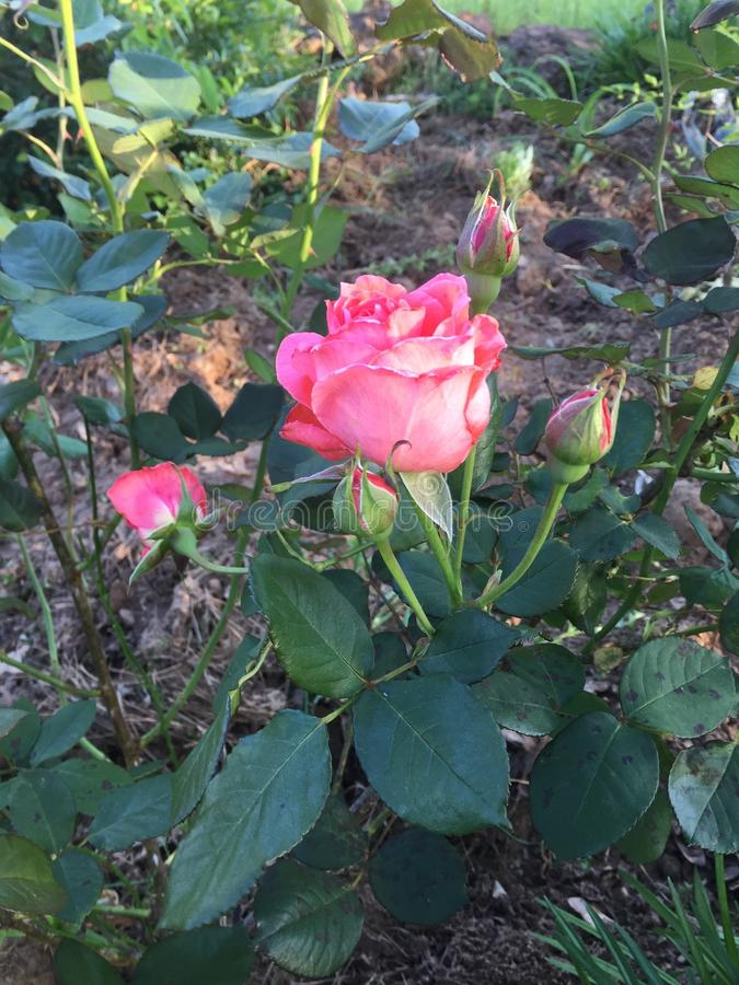 A fresh rose from rural East Texas stock photo