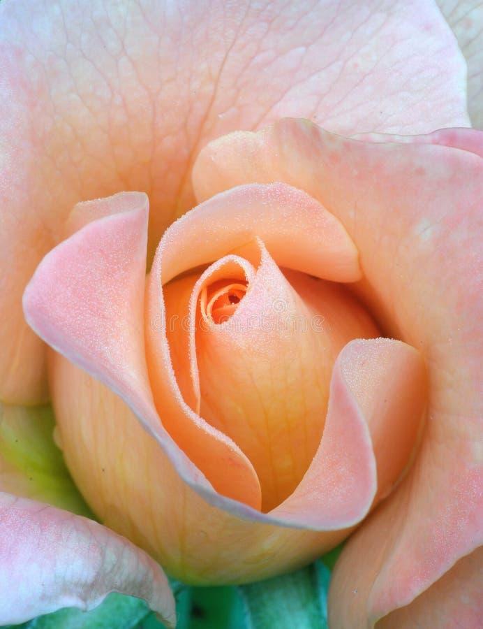 Fresh Rose, Tenderness Royalty Free Stock Photos