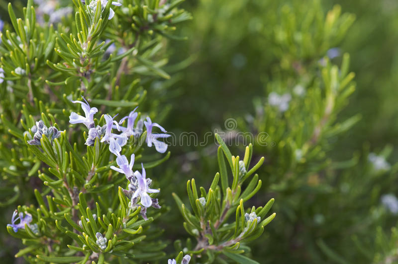 Fresh Rosemary Herb grow outdoor. stock photos