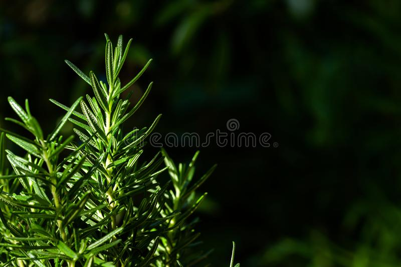 Fresh Rosemary Herb grow outdoor. Rosemary leaves Close-up stock photos