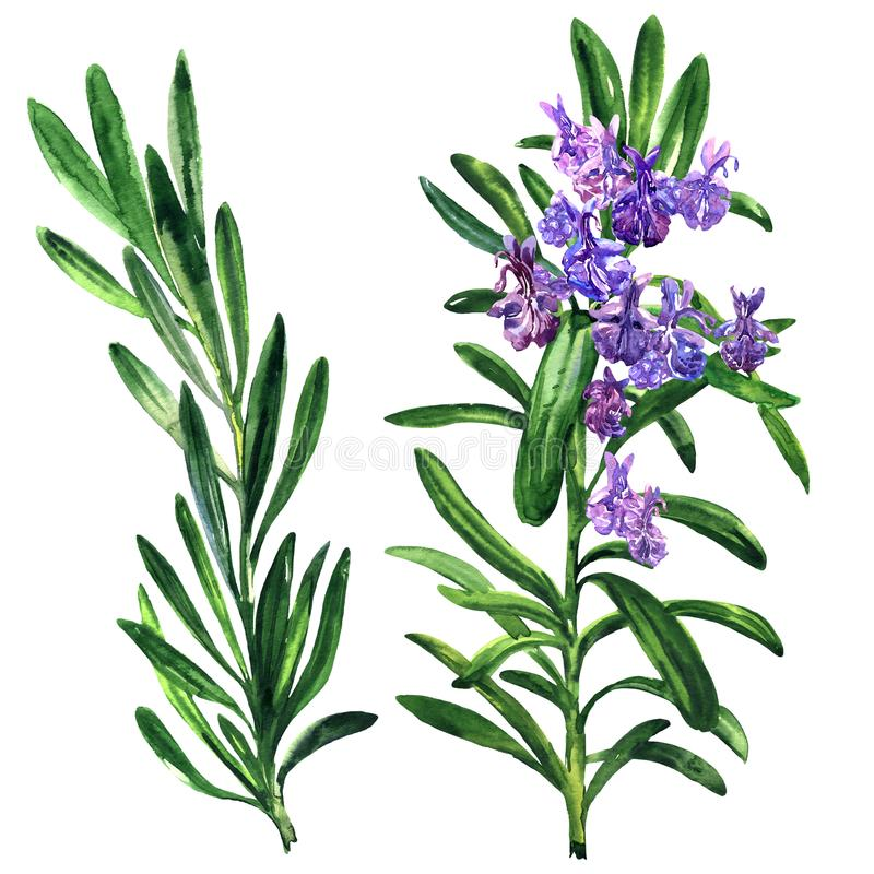 Fresh rosemary herb and spice branch, plant with flowers isolated, hand drawn watercolor illustration on white. Background stock illustration