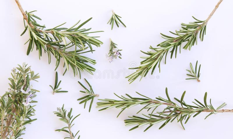 Fresh rosemary herbs from the summer garden royalty free stock photos
