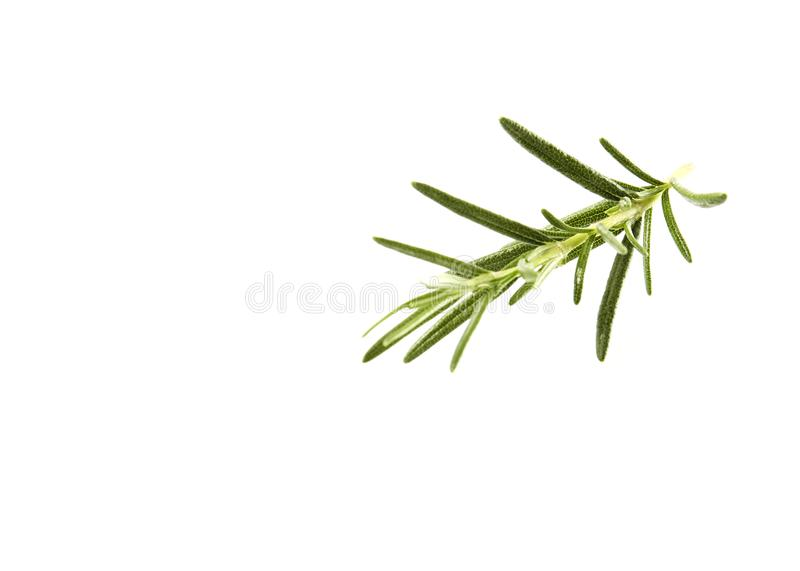 fresh rosemary sprig on white royalty free stock photo