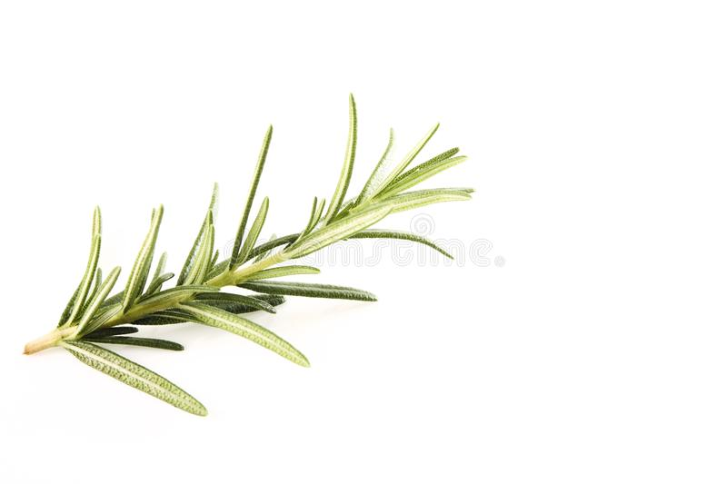 fresh rosemary sprig on white stock photography