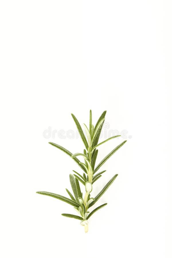 fresh rosemary sprig on white royalty free stock image