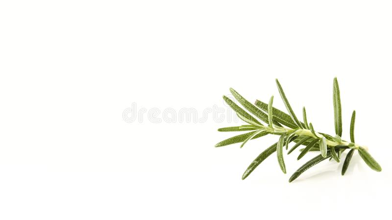 fresh rosemary sprig on white royalty free stock photography