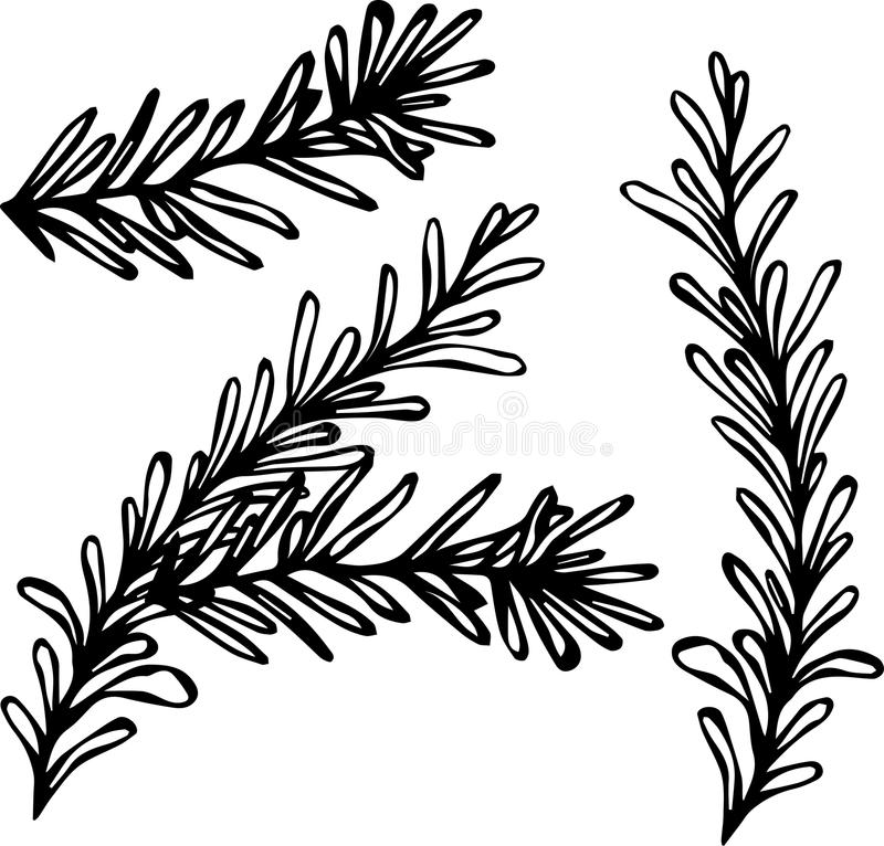 Fresh Rosemary Sprigs With Leaves. Food and Spice Vector Illustration royalty free illustration
