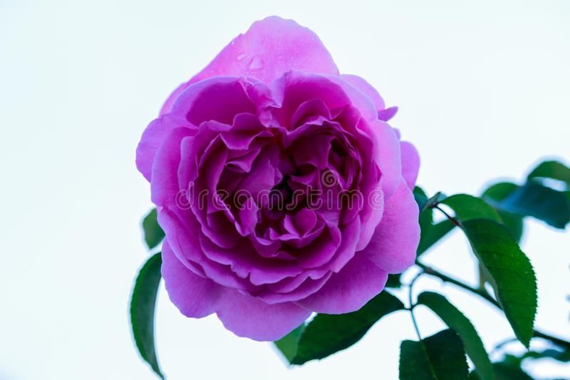 Download Fresh Roses In Natural Background In Garden. Stock Photo - Image: 83719146