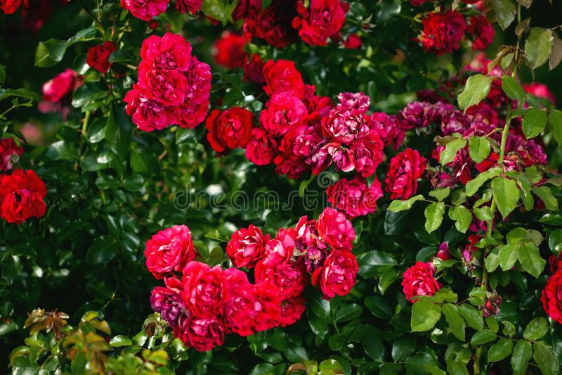 Fresh roses outdoors. Natural background, bunches of roses on a garden bush. A close-up of a bush of red roses in a city park stock photos