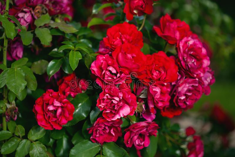 Fresh roses outdoors. Natural background, bunches of roses on a garden bush. A close-up of a bush of red roses in a city park stock images