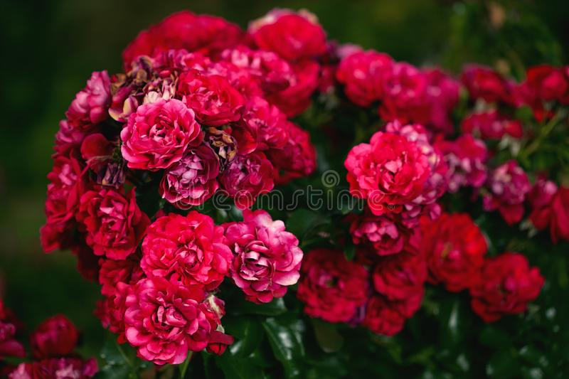 Fresh roses outdoors. Natural background, bunches of roses on a garden bush. A close-up of a bush of red roses in a city park royalty free stock photography