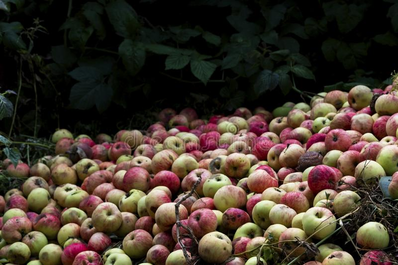 Fresh and rotten apples in garden. Picked autumn, summer harvest background. Wild fruits on ground in forest. Seasonal crop, harvesting wallpaper, backdrop stock image