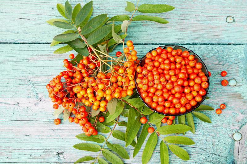 Fresh berries of mountain ash red. Fresh Rowan berries are red on the wooden surface of the table royalty free stock photo