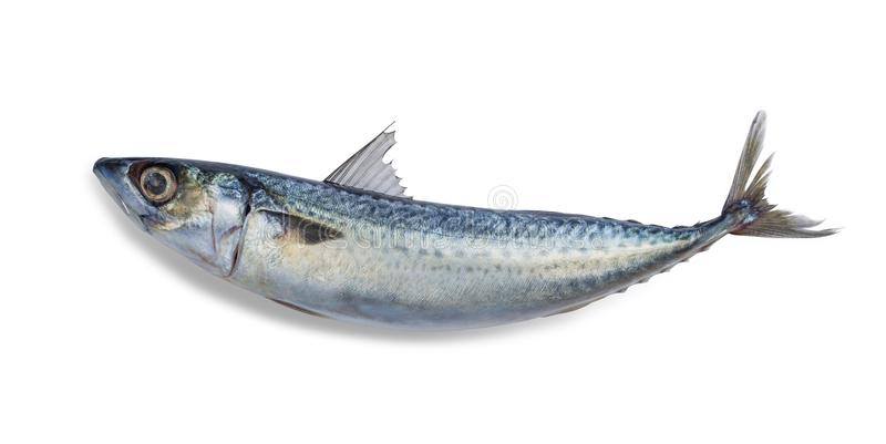 Fresh saba fish Mackerel isolated on white background. File contains a clipping path royalty free stock image
