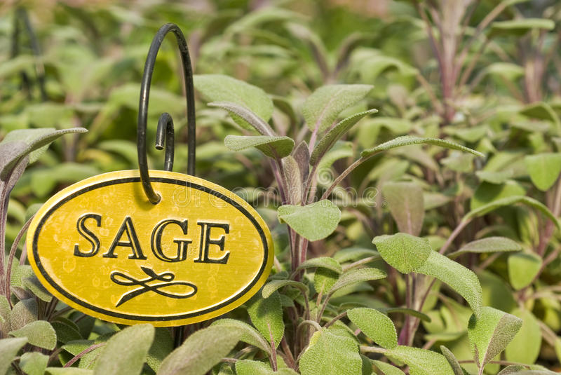 Fresh Sage Herb royalty free stock image