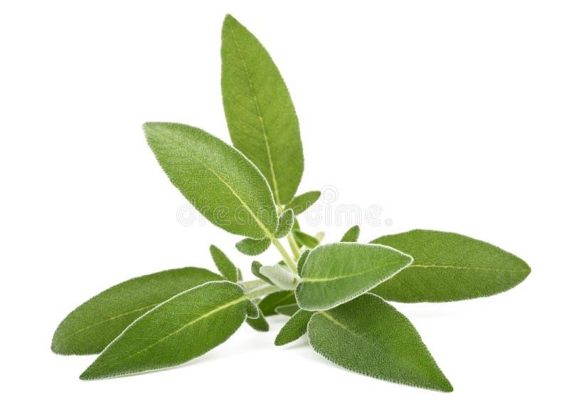 Fresh sage sprig. On white background stock image