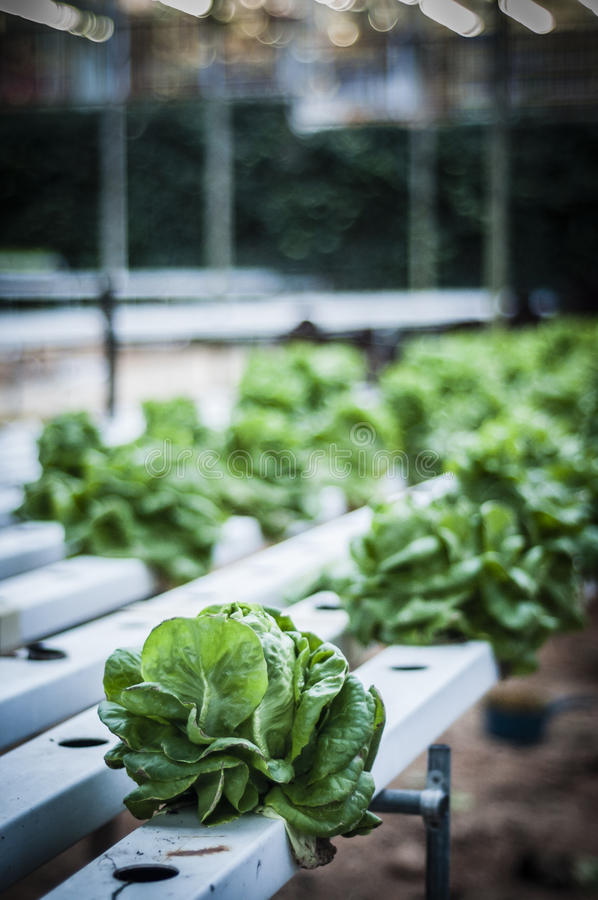 Fresh Salad. Fresh green salads planted in green house royalty free stock images