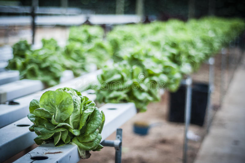 Fresh Salad. Fresh green salads planted in green house stock photo