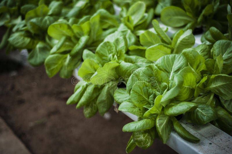 Fresh Salad. Fresh green salads planted in green house stock images