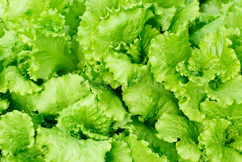 Download Fresh salad lettuce stock photo. Image of grow, ecological - 25211608