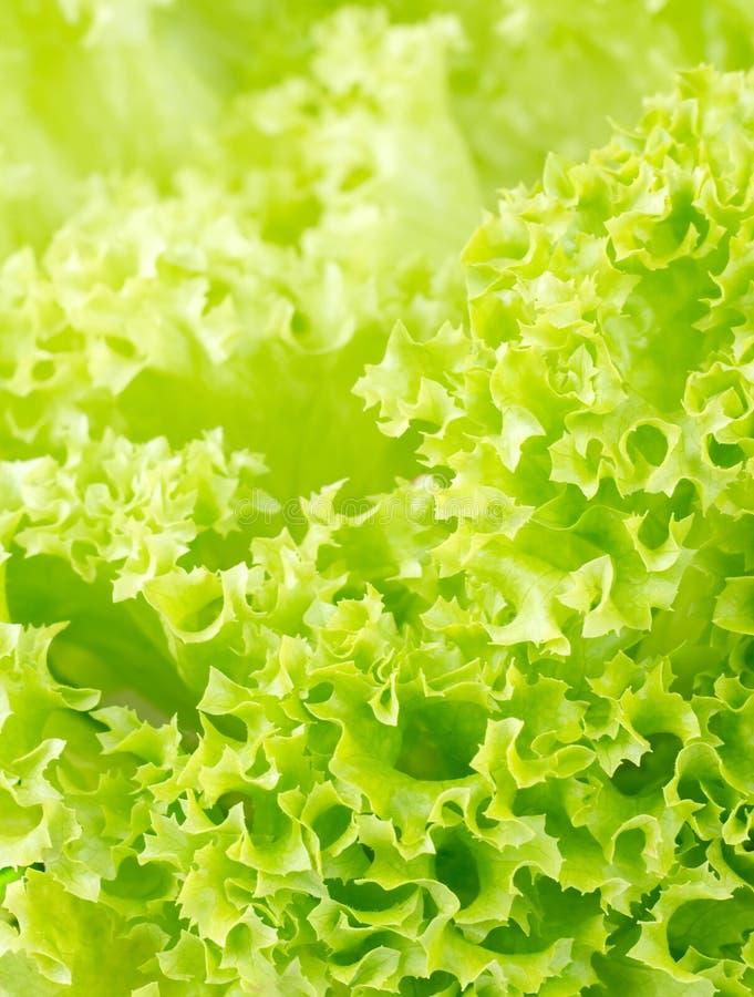 Fresh salad lettuce. stock image