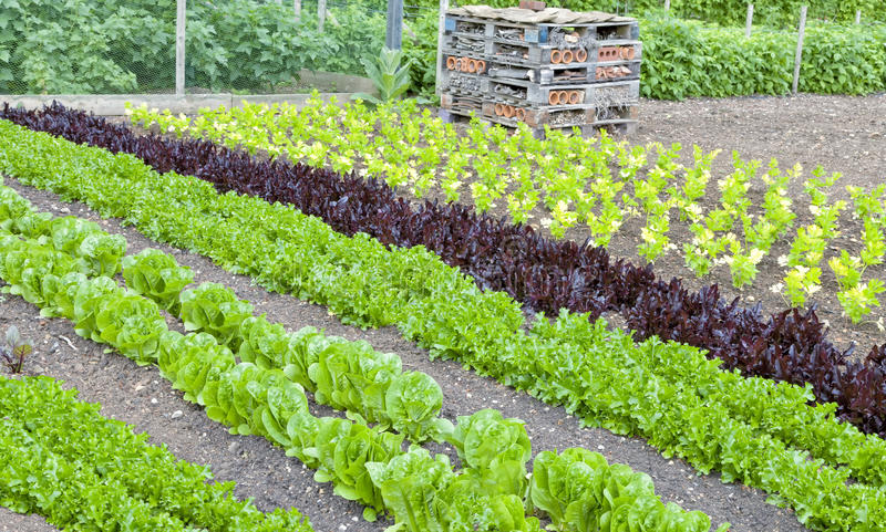 Fresh Salad Lettuce Celery Growing In An Allotment Stock Image