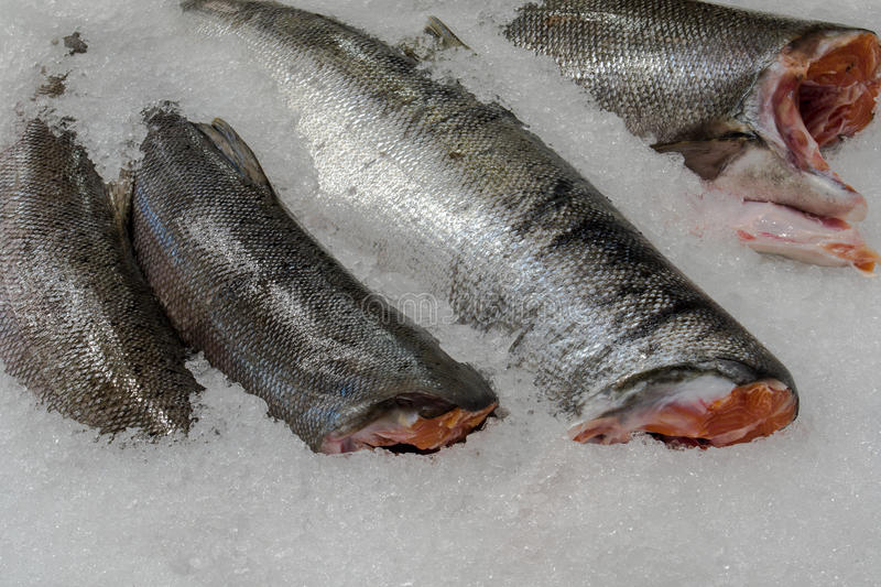 Fresh salmon ready to be filleted on the crushed ice. Fish market royalty free stock photo