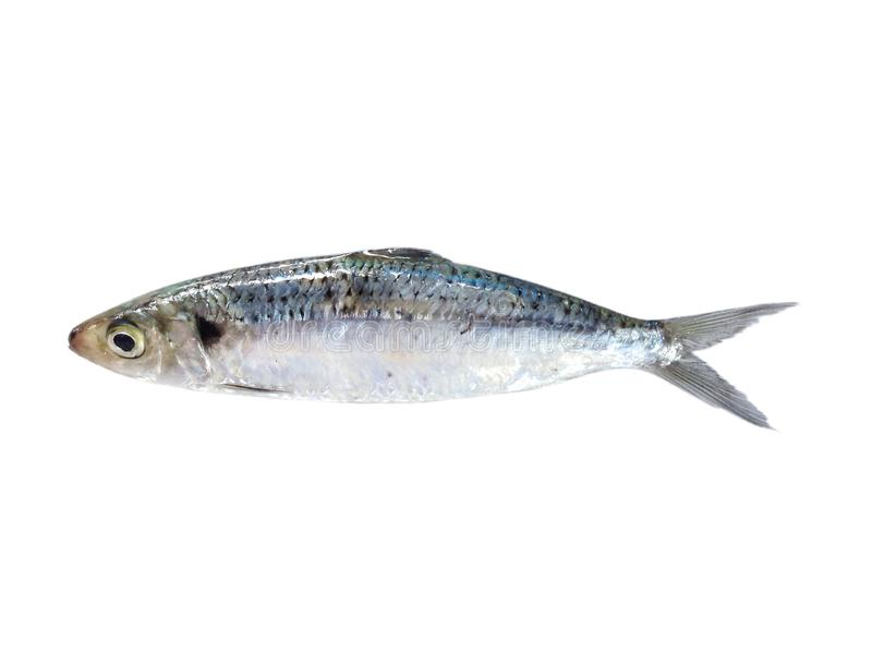 Sardine fish ,small sea fish. Fresh sardine fish isolated on white background ,anchovy fish ,marine animals royalty free stock photos