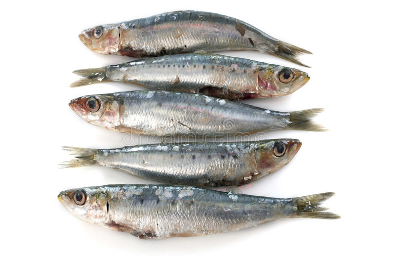 Fresh sardine. In front of white background stock photography