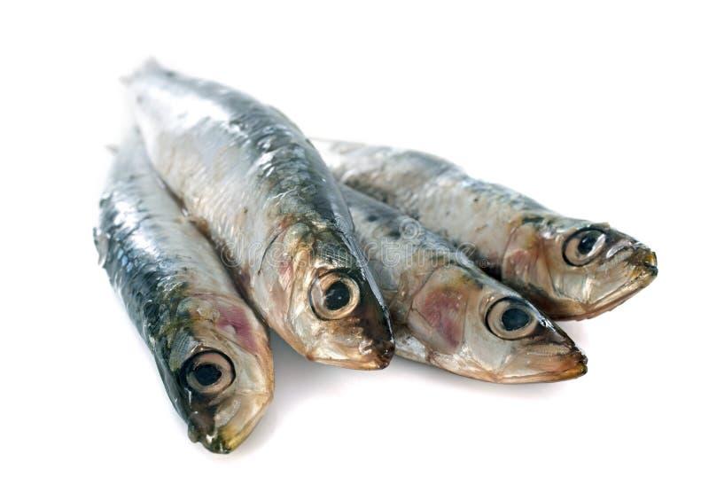 Fresh sardine. In front of white background stock photo