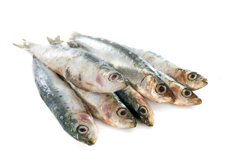 Fresh sardine. In front of white background royalty free stock image
