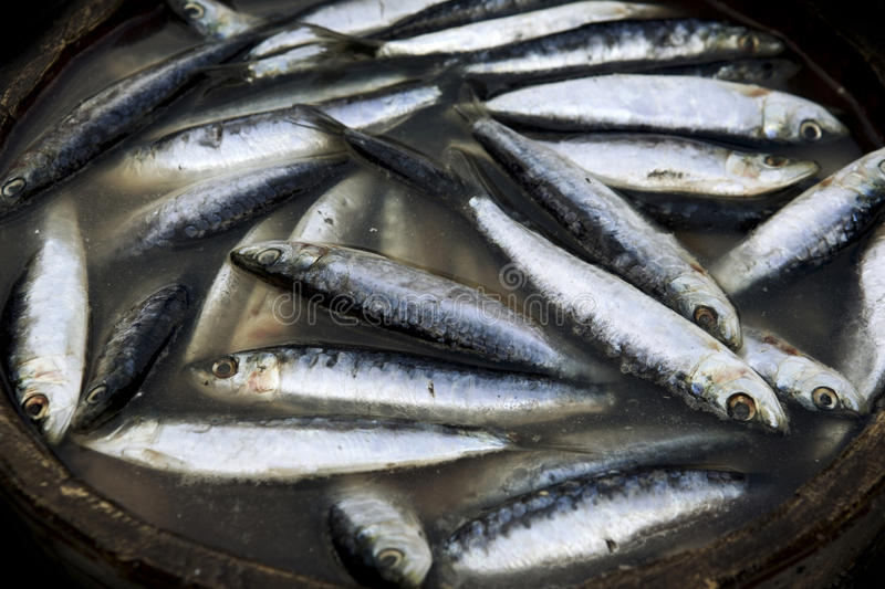 Fresh Sardines. A selection of freshly caught Sardines royalty free stock photography
