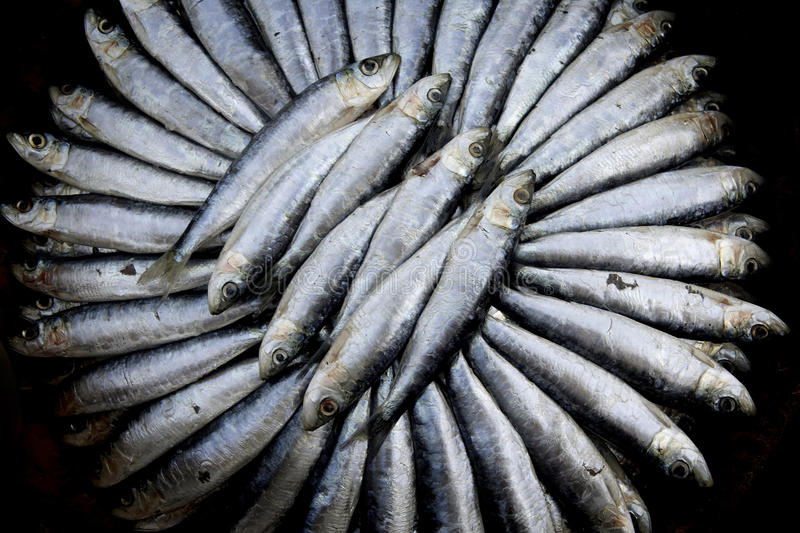 Fresh Sardines. A display of freshly caught Sardines stock images