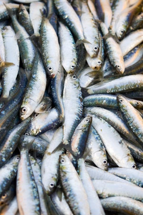 Fresh sardines in market royalty free stock images