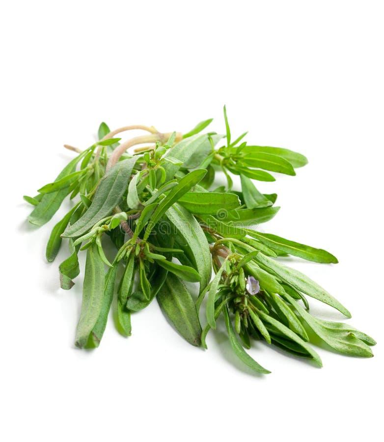 Fresh savory. Savory isolated on white background royalty free stock image