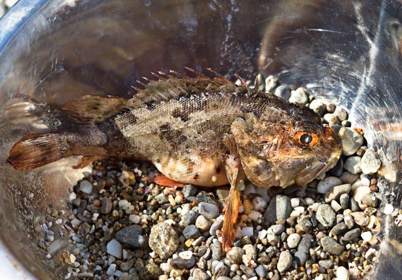 Fresh scorpion-fish (Scorpaenidae) caught in a bowl. Sea food royalty free stock photography