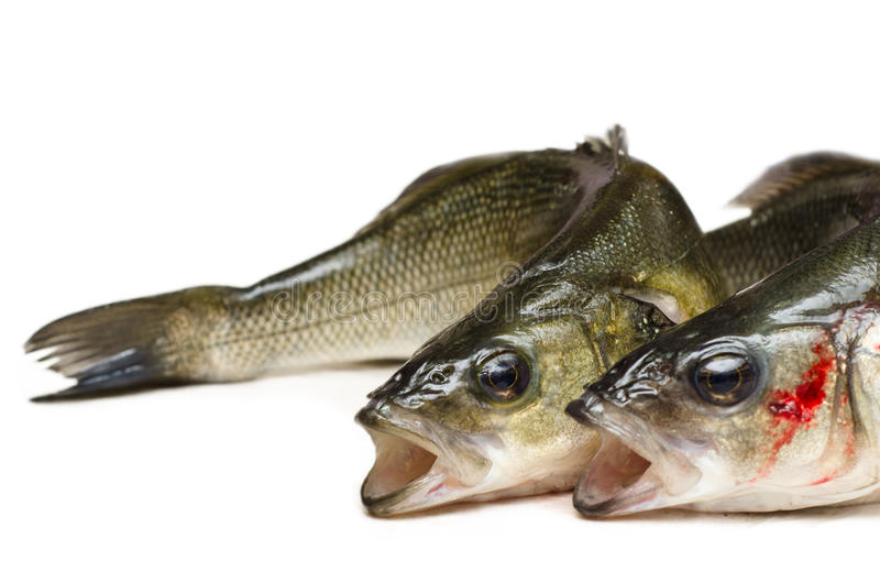 Fresh sea bass. Isolated on white background stock photos