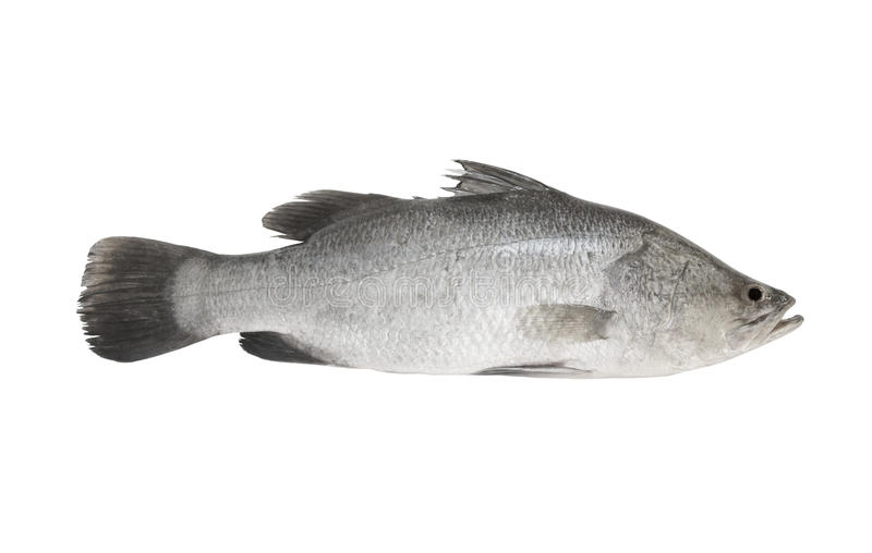 Fresh sea bass fish isolated. On white background stock images