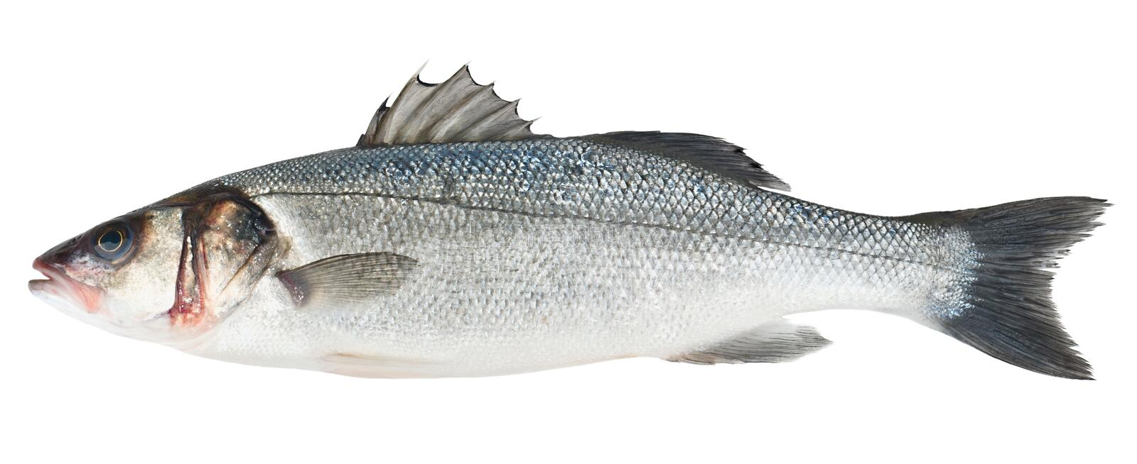 Fresh Sea Bass fish isolated. On white background royalty free stock photo