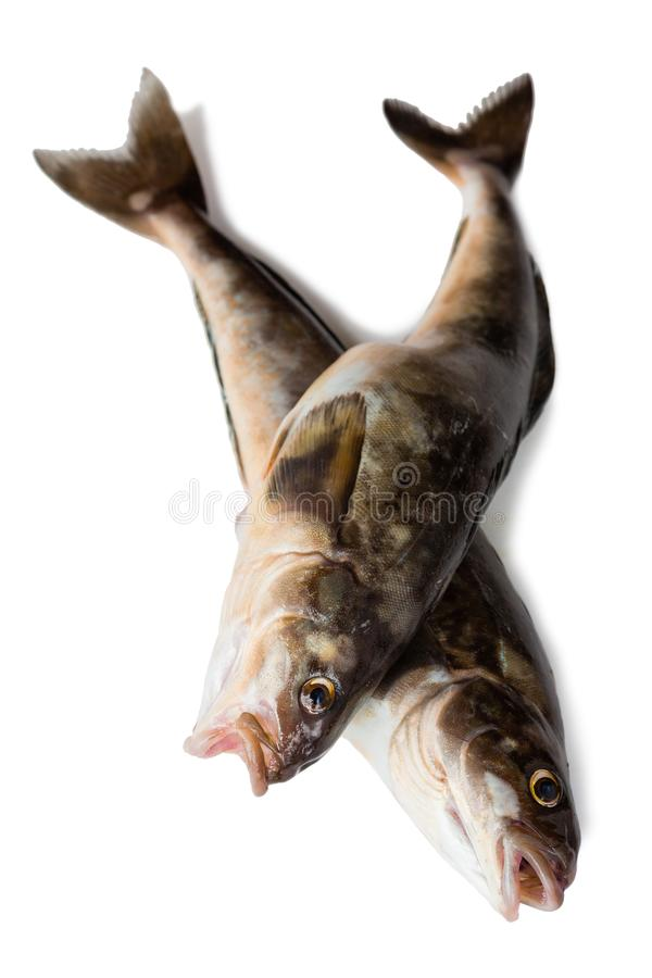 Fresh sea fish Arabesque greenling bass. Freshly caught sea fish Arabesque greenling bass, Commercial fish is found in the seas of the Far East. Isolation on a royalty free stock photo