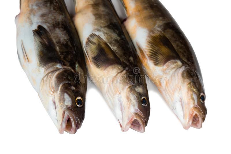 Fresh sea fish Arabesque greenling bass. Freshly caught sea fish Arabesque greenling bass, Commercial fish is found in the seas of the Far East. Isolation on a royalty free stock photography